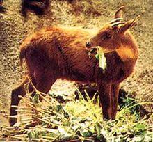 台湾鬣羚取食图