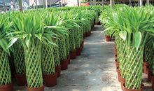 盆景富贵竹